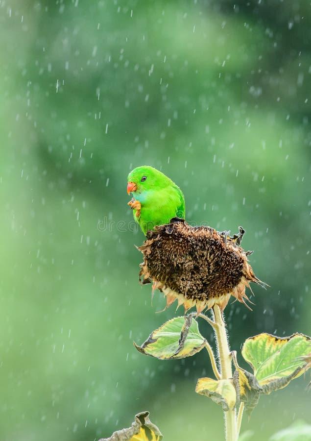 Vernal hängpapegoja på solrossidan under regnperioden arkivbild