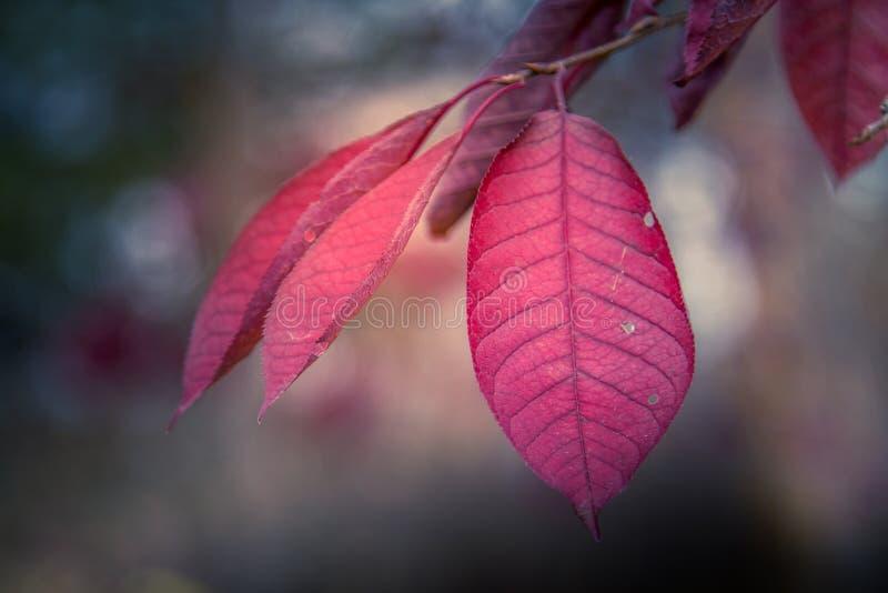 Vernauwing Cherry Tree stock fotografie