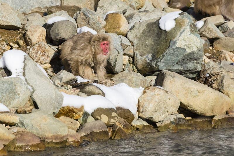 Vernehmbarer langhaariger wilder Schnee-Affe auf Felsen stockbild