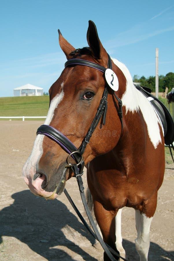 Vernici il cavallo fotografia stock libera da diritti