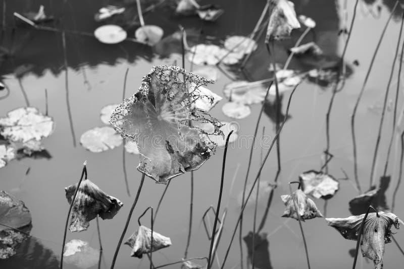 Vernietigde lotusbloem, zwart-wit beeld royalty-vrije stock foto's