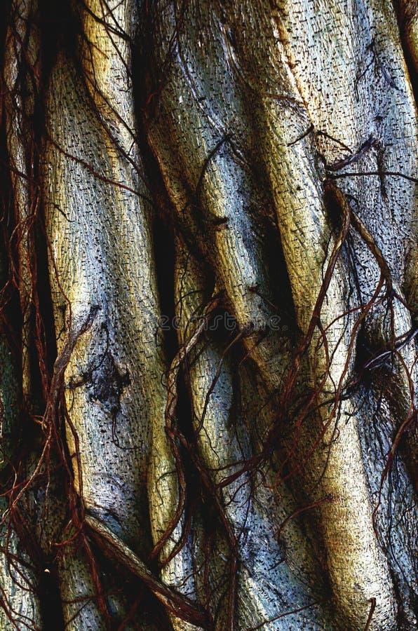 Vernietigde Oude Banyan-Boomboomstam stock afbeeldingen