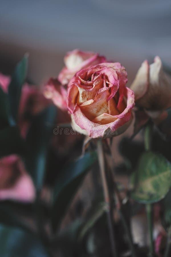 Vernietigde oude roze gele rode rozenbloemen royalty-vrije stock foto
