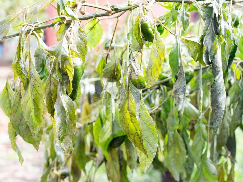 Vernietigde plantaardige bomen op landbouwbedrijf door koude of Groene paprika stock afbeelding