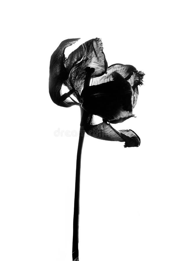 Vernietigde Tulp in zwart-wit royalty-vrije stock foto's