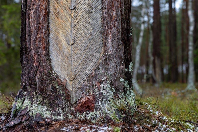 Vernietigde zachthoutschors door resination Plaats van het verwerven van een hars van een boomboomstam stock afbeelding