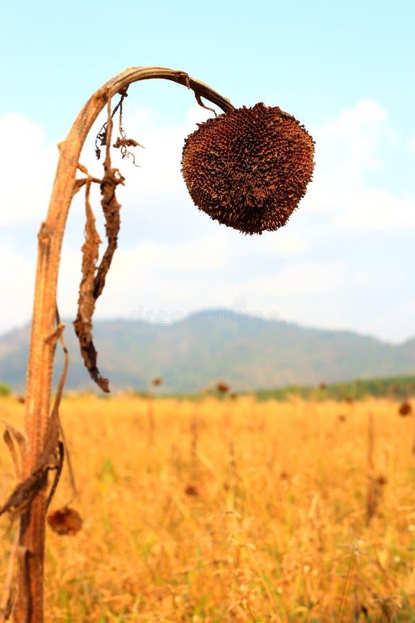 Vernietigde zonnebloemen royalty-vrije stock foto