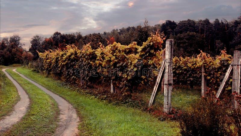 Vernietigende wijngaard stock afbeelding