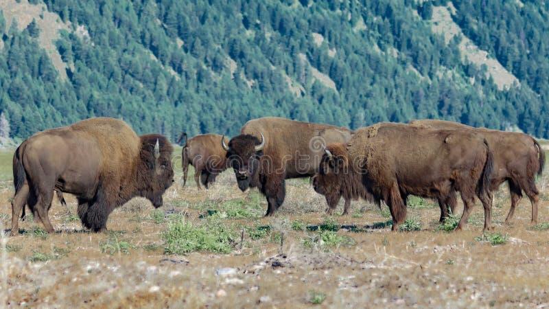 Vernomen bizon in het Nationale Park van Grand Teton, Wyoming stock foto