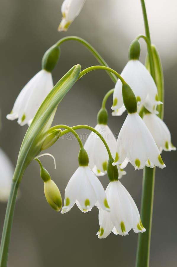 Vernum de Leucojum, copo de nieve de la primavera, flores fotografía de archivo