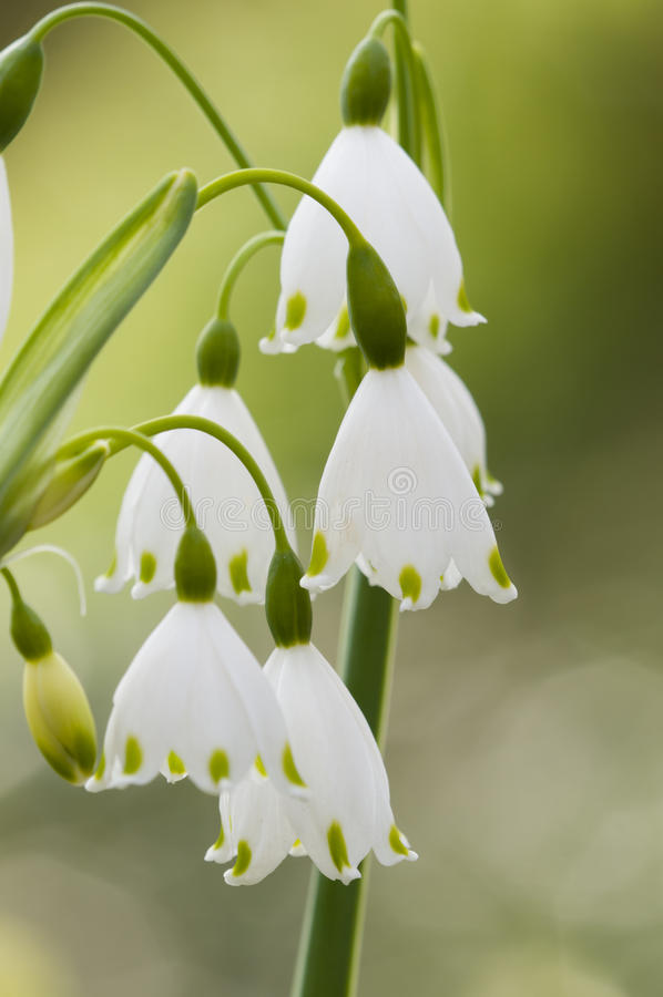 Vernum de Leucojum, copo de nieve de la primavera, flores fotografía de archivo libre de regalías