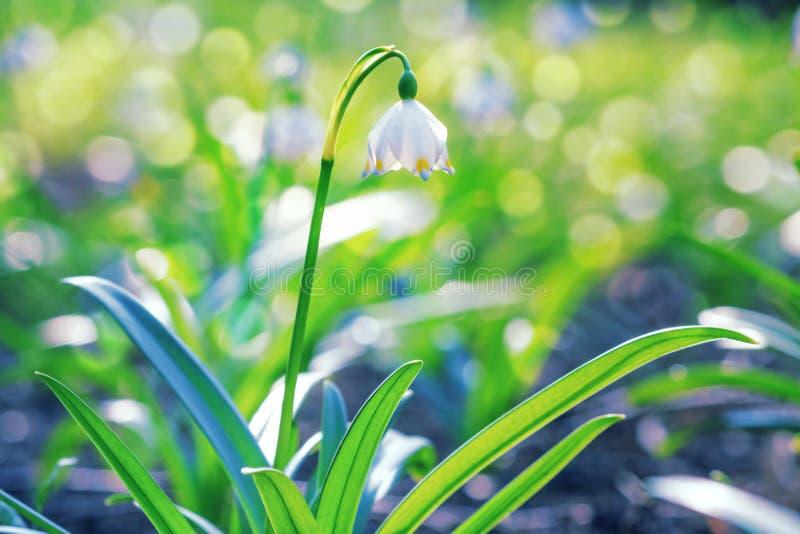 Vernum de Leucojum o copo de nieve de la primavera - flores blancas florecientes imagen de archivo