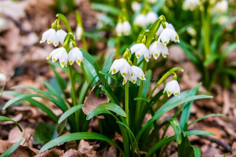 Vernum van Leucojum De lentesneeuwvlokken in het bos stock fotografie