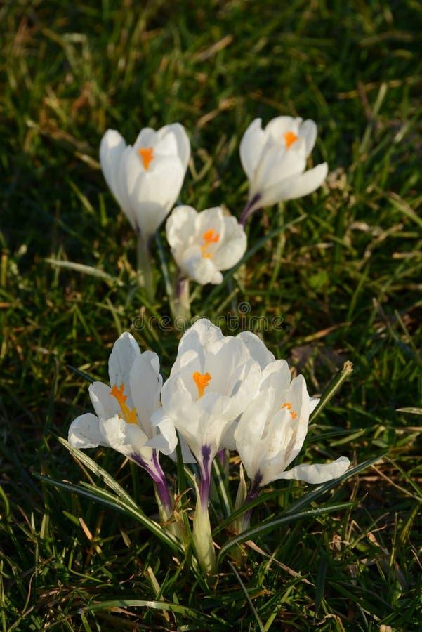 Vernus крокуса шафрана весны в траве стоковое изображение
