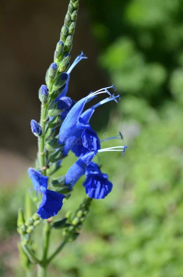 Vero fiore blu immagini stock