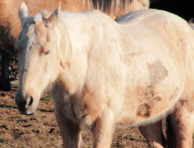 Veronachtzaamd, Misbruikt en Verwond Paard stock afbeelding