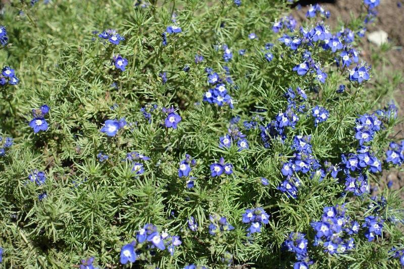 Veronica-armena in voller Blüte im Frühjahr stockfotos