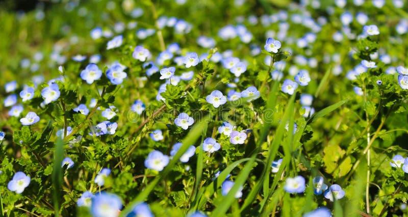 Veronica-blomma, blå äng royaltyfria bilder