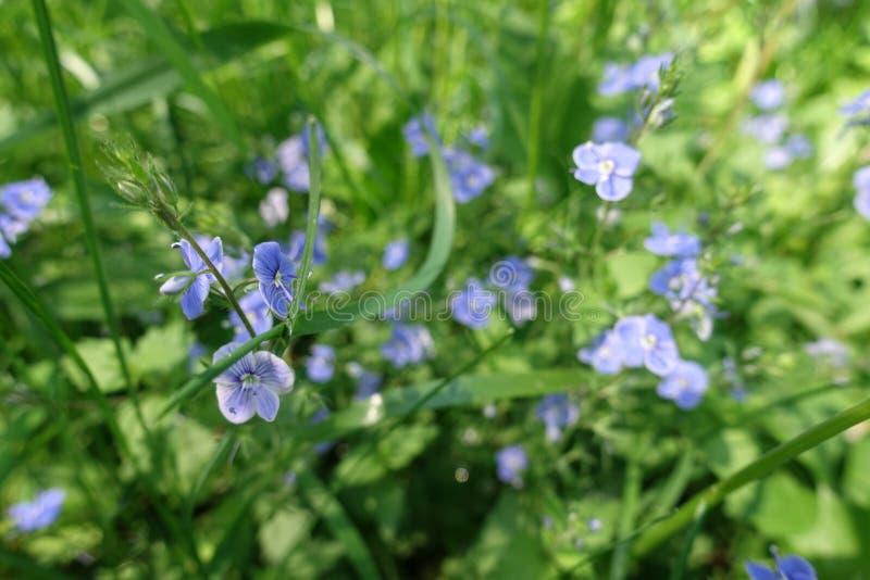 Veronica-chamaedrys in der Blüte im Frühjahr lizenzfreie stockfotos