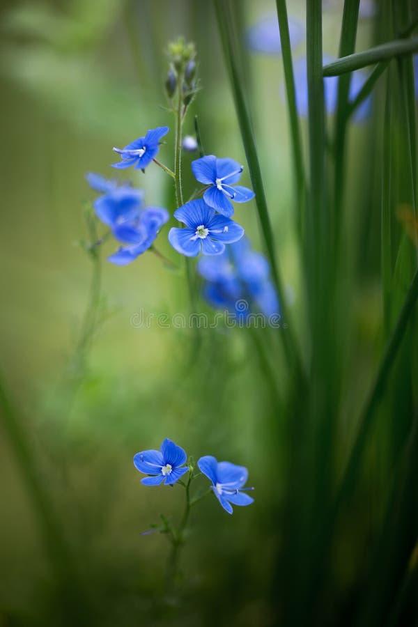Veronica chamaedrys flowers stock photos
