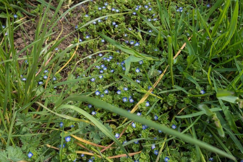 Veronica en pleine floraison dans l'herbe grande photographie stock