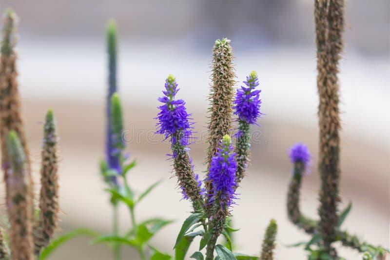 Veronica kwitnie purpury Dzikie lecznicze rośliny zdjęcie stock