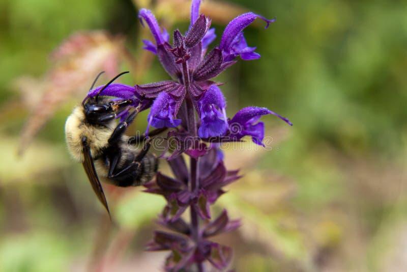 Veronica Longifolia玛丽埃塔吸引弄糟与它生动的颜色和不可抗拒的气味的蜂 图库摄影