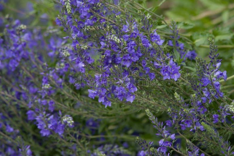 Veronica Longifolia zdjęcie stock