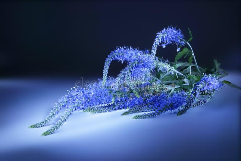 Veronica Longifolia Lekki muśnięcie zdjęcie royalty free