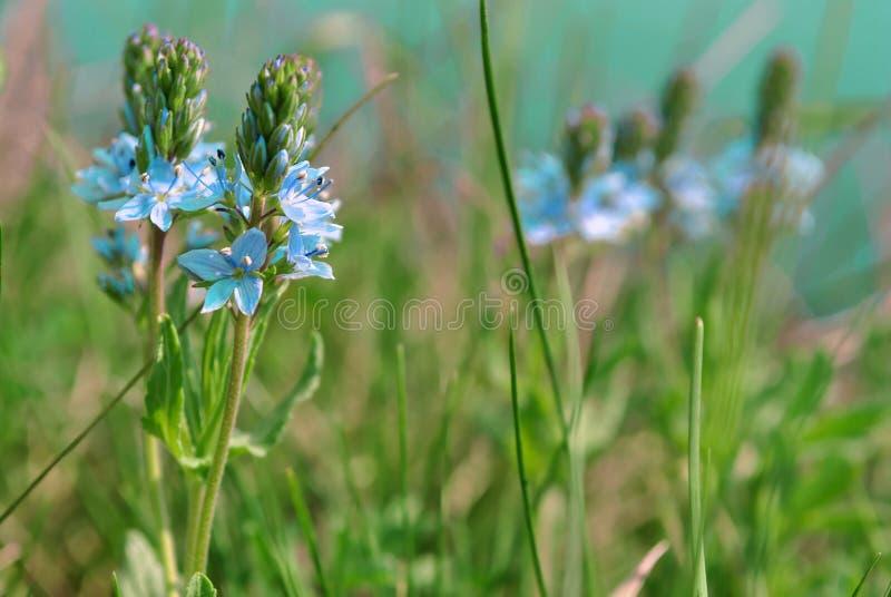 Veronica officinalis heath speedwell. Vanliga zigenarväxter. gemensam farled, eller Paul`s humy arkivbilder