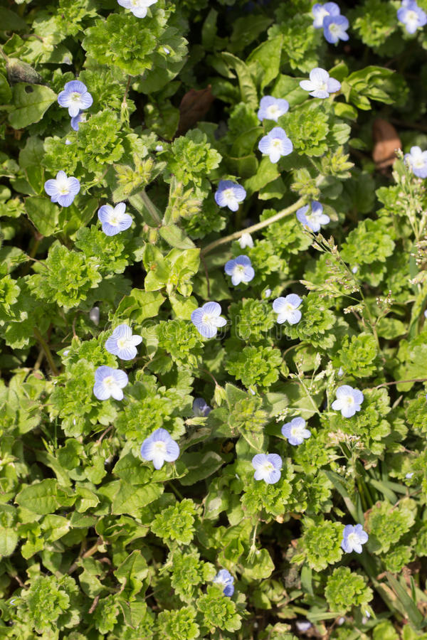 Veronica-persica royaltyfria foton