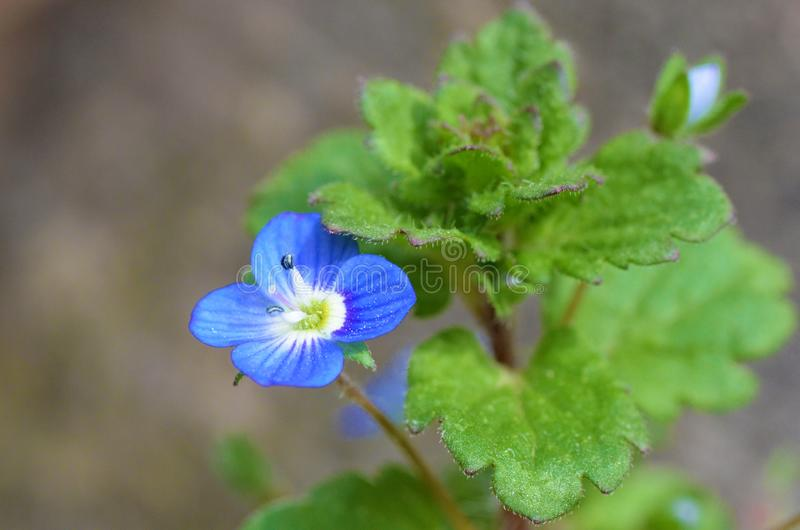 Veronica persica or  Persian speedwell flower. Veronica persica a small blue to purple flower stock image