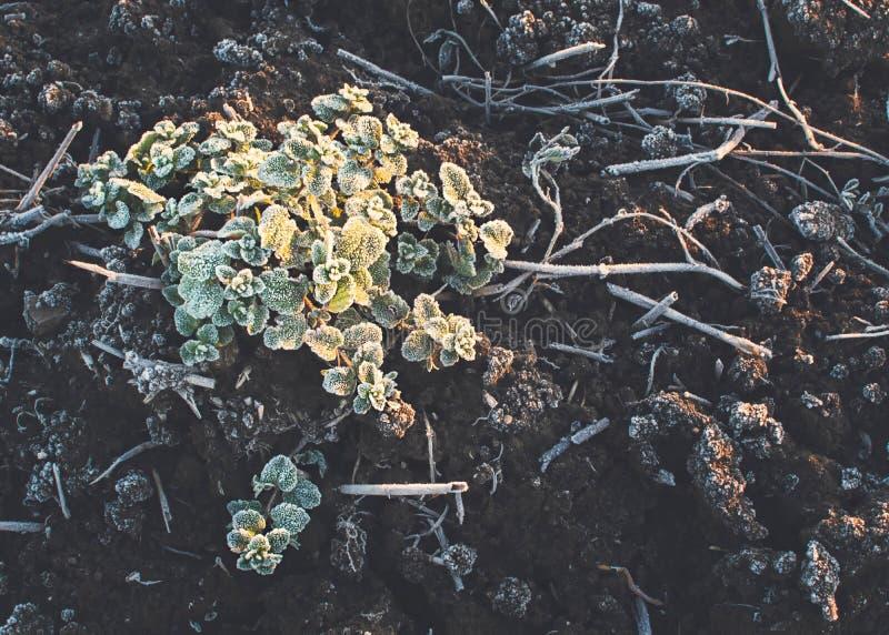 Veronica Plant photo libre de droits