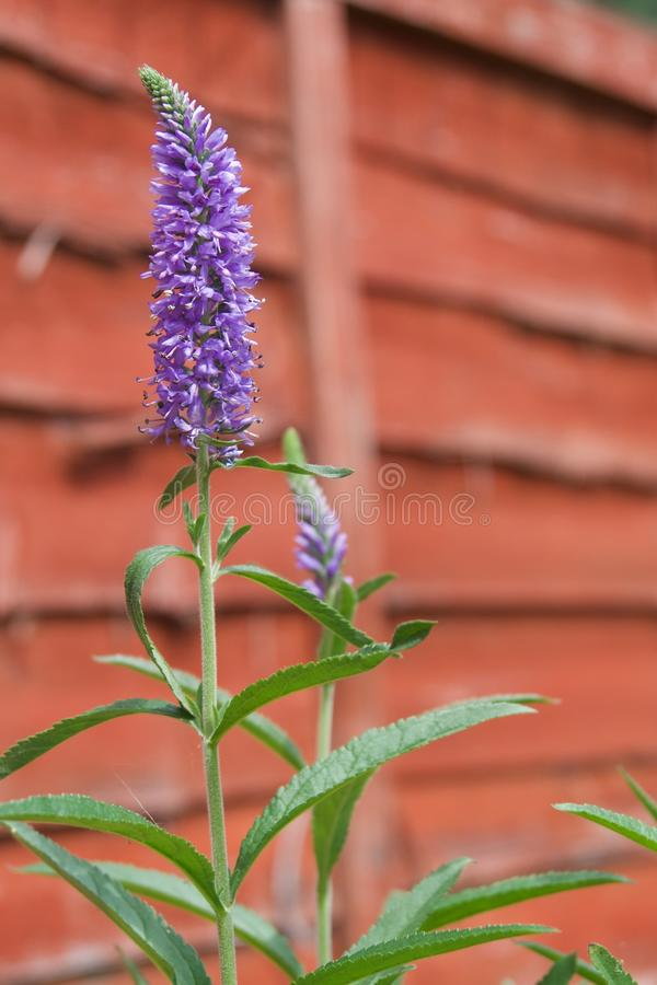 Veronica Plant fleurissante pourpre en Angleterre photo stock