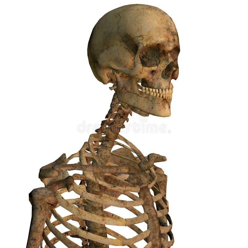 Verouderend menselijk skelet stock illustratie