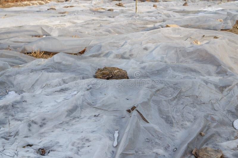 Verpackung des Gartens für Winterfrostisolierung unter Verwendung des Plastikbands, um einen Treibhauseffekt zu schaffen lizenzfreies stockbild