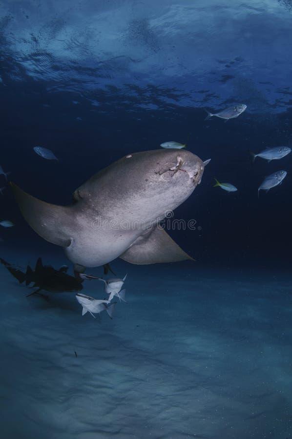 Verpleegster Shark Dancing in Duidelijke Wateren van de Bahamas royalty-vrije stock foto