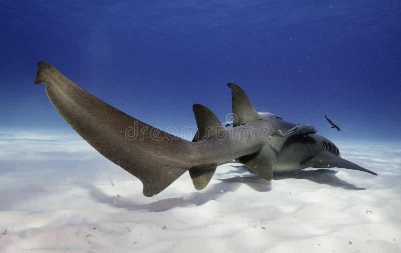 Verpleegstershaai onderwater stock afbeelding