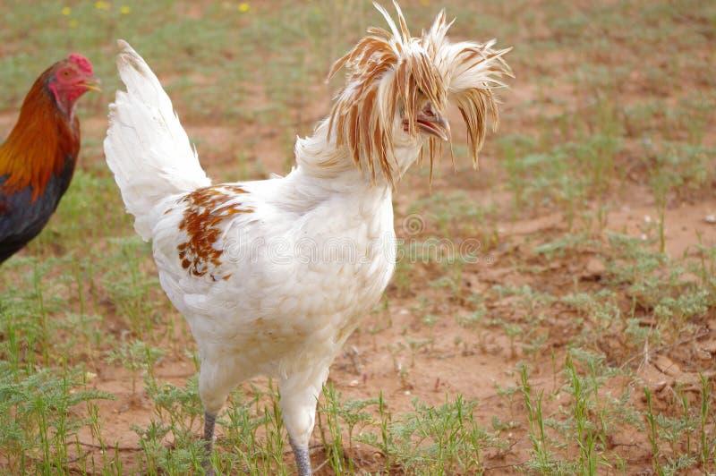 Verrückte Frisur eines polnischen Hahns mit Haube lizenzfreie stockbilder