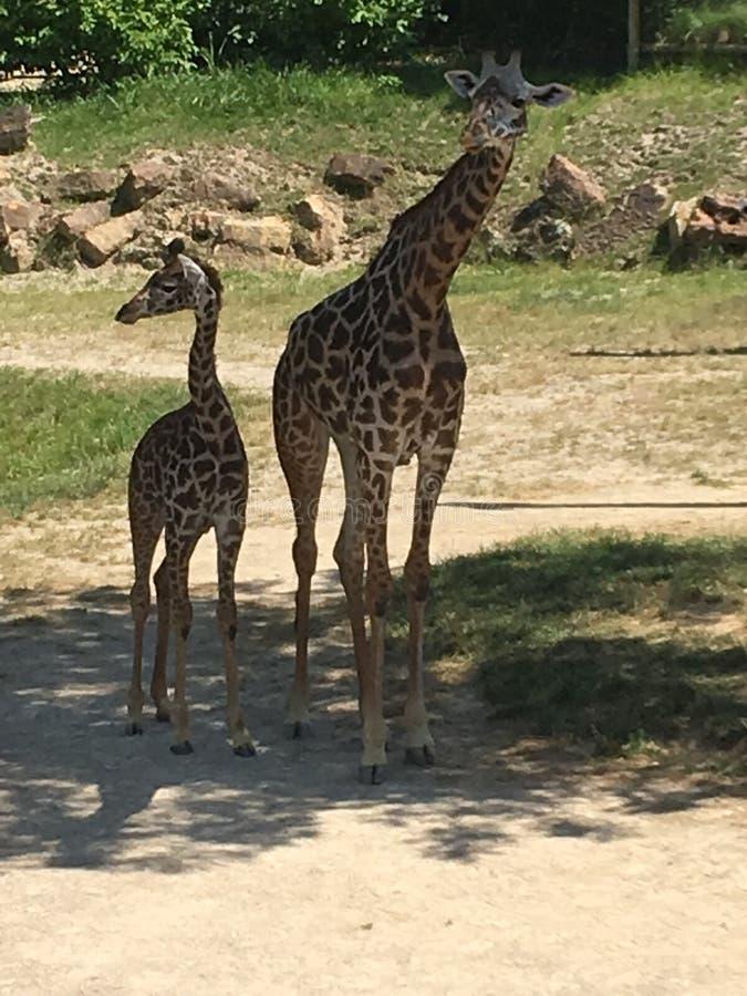 Verrückte lange Giraffenhälse lizenzfreie stockbilder