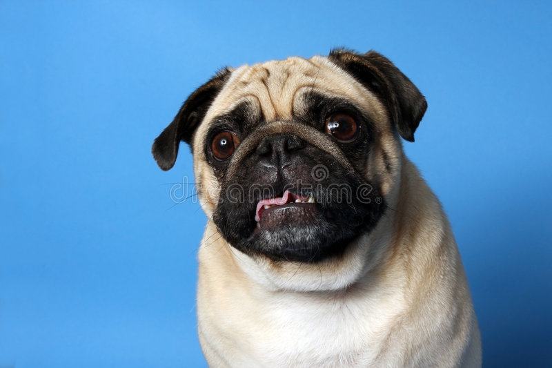 Verrückter Pug stockfotos
