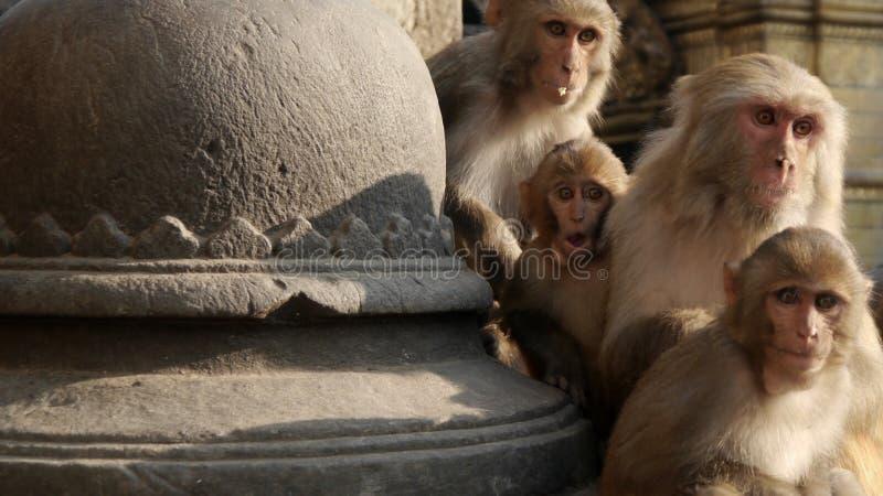 Verraste aap royalty-vrije stock afbeelding