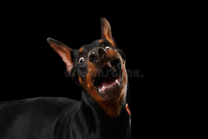 Verraste Geopende mond van close-up de Grappige Doberman Pinscher Hond, geïsoleerde Zwarte royalty-vrije stock foto