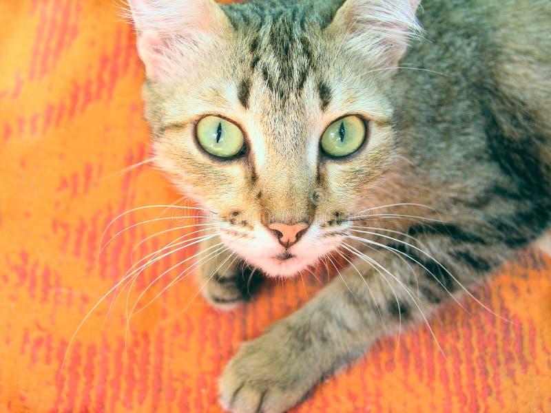 Verraste kat stock fotografie