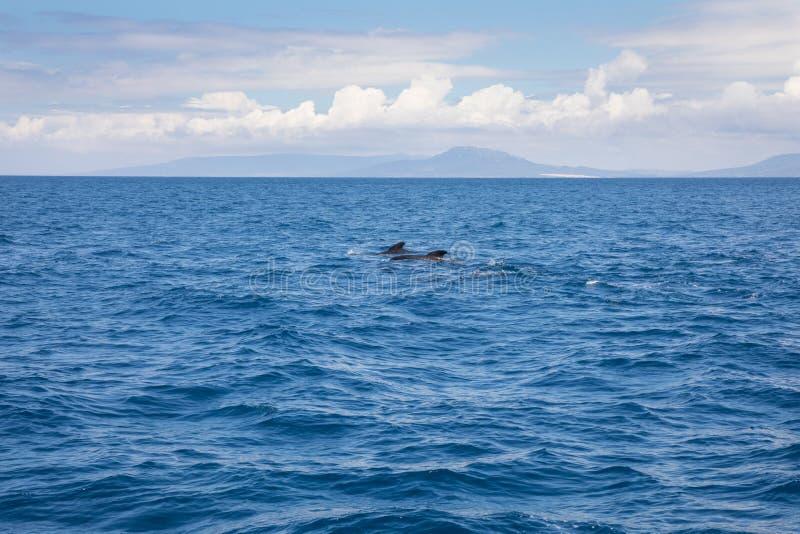 Verre proefwalvissen die in de Atlantische Oceaan voor Spanwijdte zwemmen royalty-vrije stock foto's