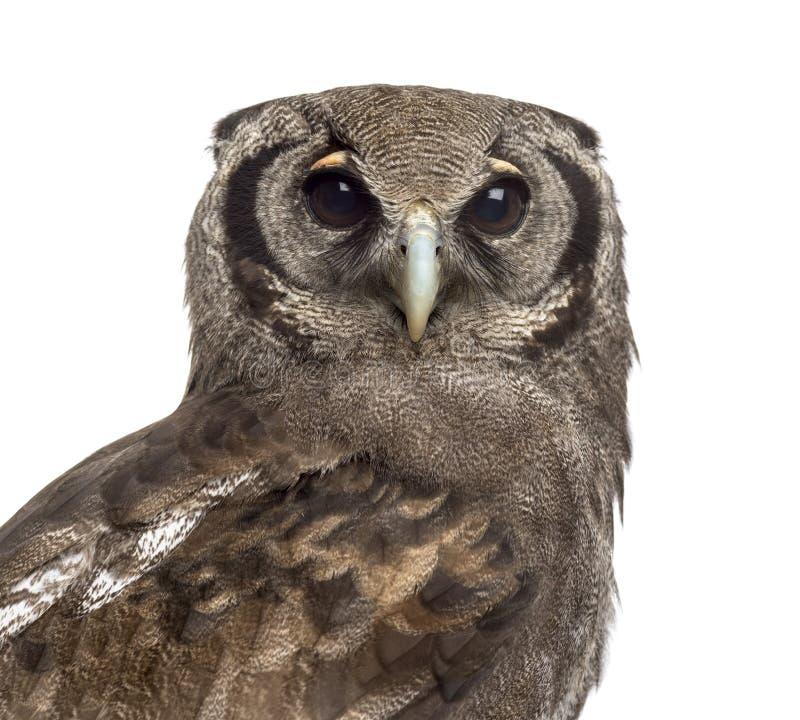 Verreaux的老鹰猫头鹰-腹股沟淋巴肿块lacteus的特写镜头 免版税库存图片