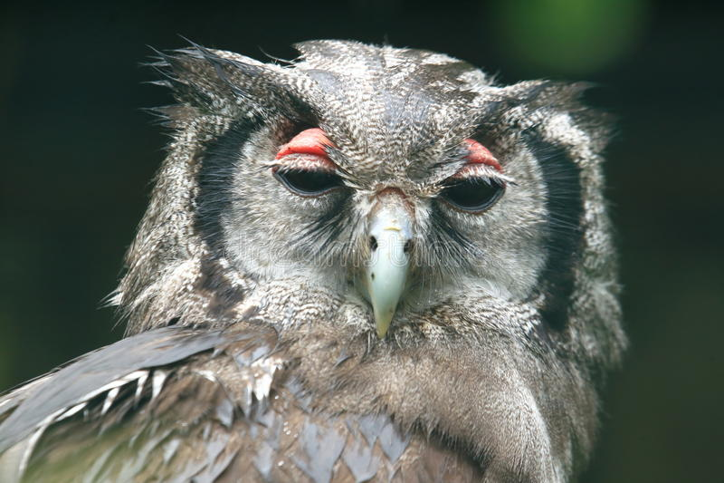 Verreaux Eagle-uil royalty-vrije stock afbeeldingen