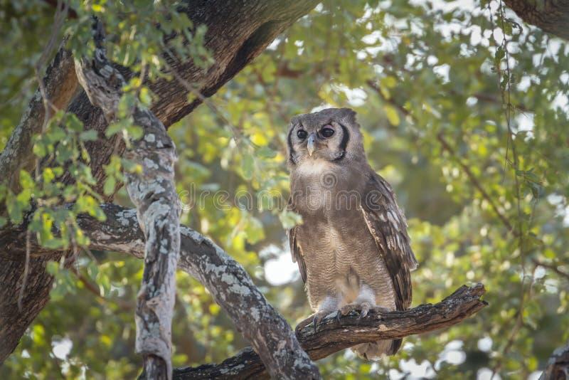 Verreaux Eagle-Uil in het Nationale park van Kruger, Zuid-Afrika stock foto