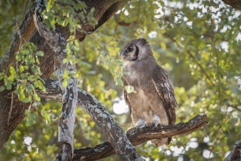 Verreaux Eagle-Uil in het Nationale park van Kruger, Zuid-Afrika stock foto's