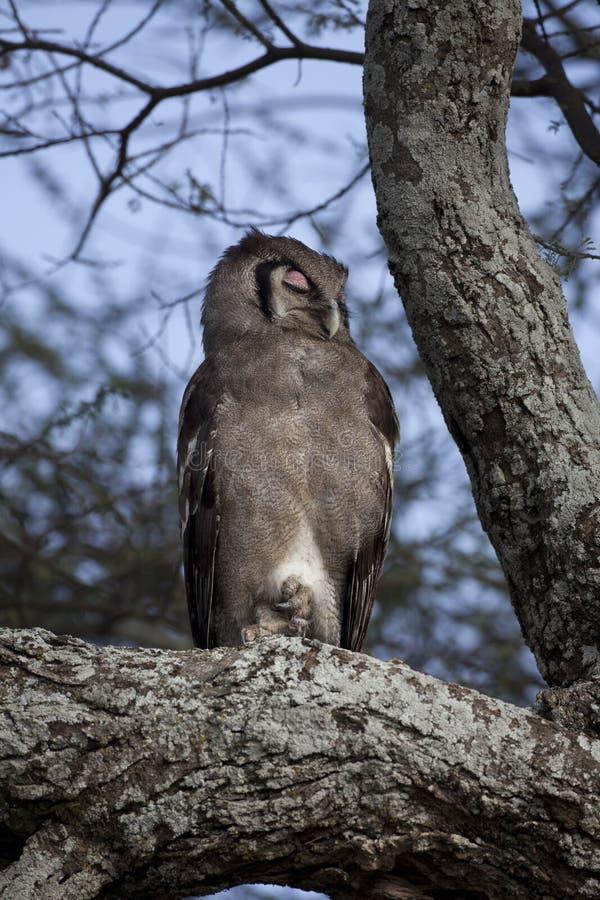 Download Verreaux's Eagle Owl stock image. Image of verreaux, prey - 21710155